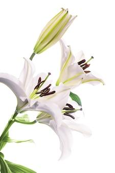 Biała lilia na białym tle