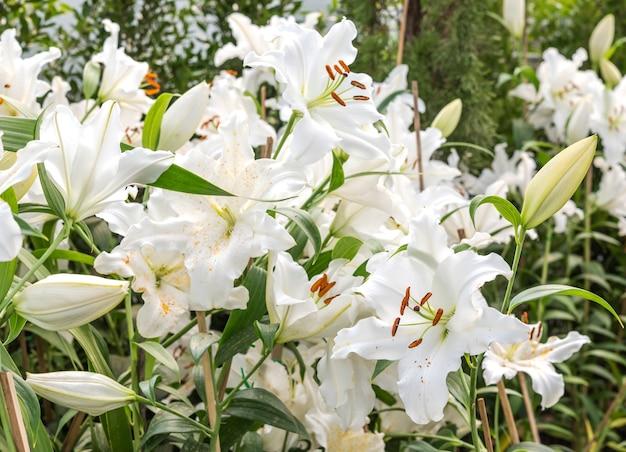 Biała lilia w ogrodzie dziedzinie