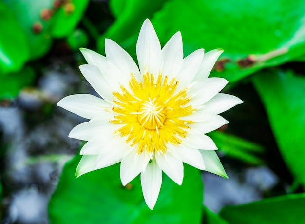 Biała lilia woda lub kwiat lotosu w basenie bardzo świeże