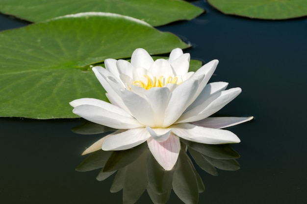 Biała lilia wodna - lotos kwitnący na małym stawie w słoneczny letni dzień