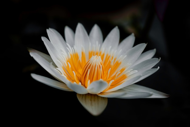 Biała lilia wodna nymphaea alba pływające w stawie