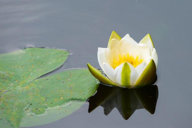 Biała lilia wodna odbijająca się w wodzie