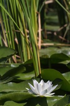 Biała lilia wodna w delcie wołgi