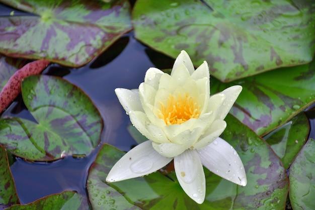 Biała lilia wodna w zbliżeniu stawu
