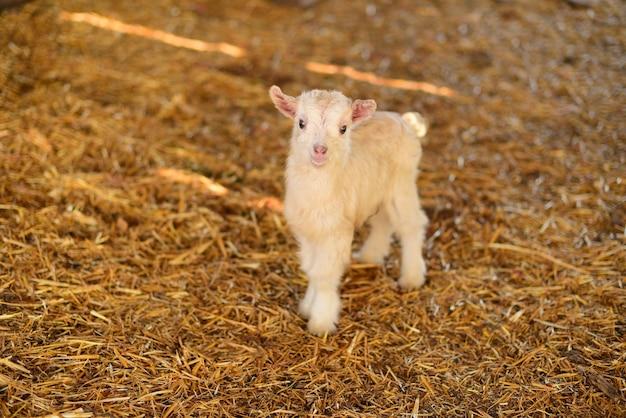 Biała mała koza noworodka w gospodarstwie rolnym na wsi i w gospodarstwie rolnym