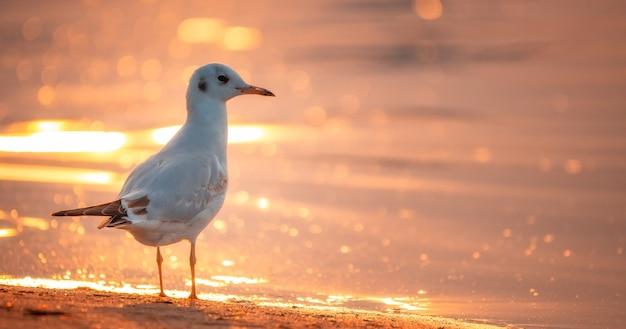 Biała mewa na plaży o zachodzie słońca.