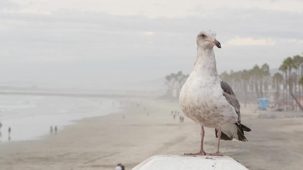 Biała mewa, plaża oceanu spokojnego w kalifornii. śliczny ptak z bliska na molo w oceanside.