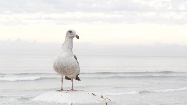 Biała mewa ptak, kalifornia mglisty ocean plaża. mglista zima, pejzaż morski we mgle.