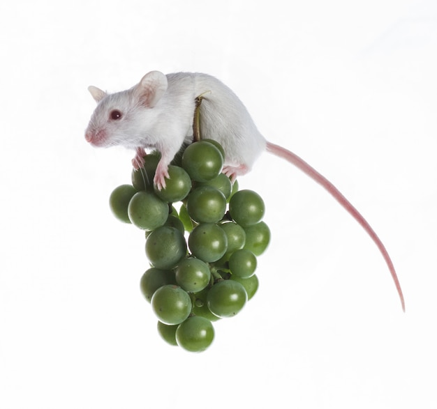 Biała mysz na gronie zielonych winogron na białym tle