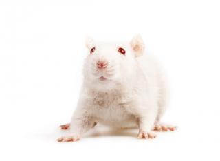 Biała mysz