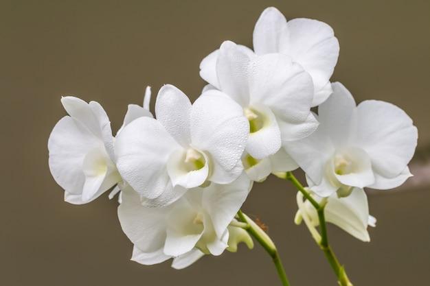 Biała orchidea, dendrobium.