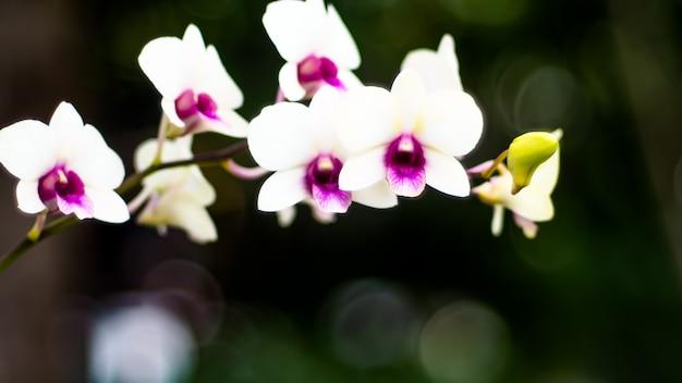 Biała orchidea kwiat gałąź z pąkami na łodydze. element romantycznego wydarzenia. wiosenne, letnie wakacje kwiatowe