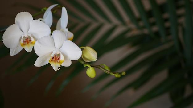 Biała orchidea kwiat i liść palmowy pozostawia cień. elegancki delikatny delikatny kwiatowy kwiat. egzotyczna dżungla tropikalna las deszczowy stylowa modna botaniczna atmosfera. estetyka ciemnej naturalnej zieleni rajskiej