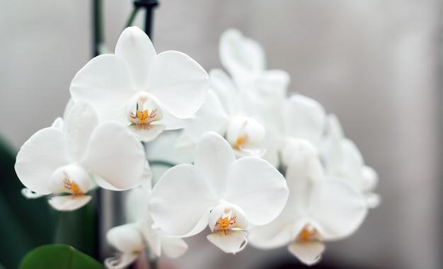 Biała orchidea na białym tle. miękkie, piękne kwiaty są widoczne w artystycznej kompozycji, kwiat phalaenopsis