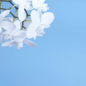 Biała orchidea na błękitnym tle.