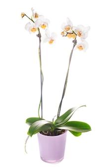 Biała orchidea rośnie w doniczce na białym tle