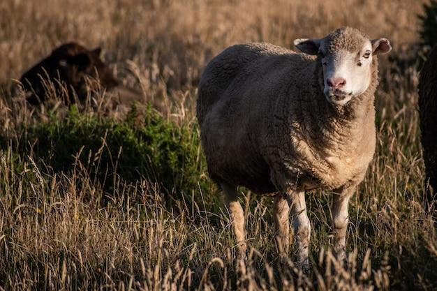 Biała owca na złotej łące na wyspie chiloe w chile