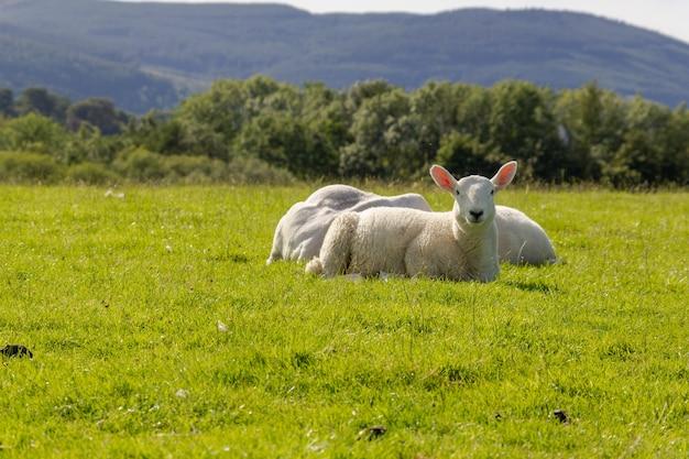 Biała owca siedzi na świeżej zielonej trawie w lake district