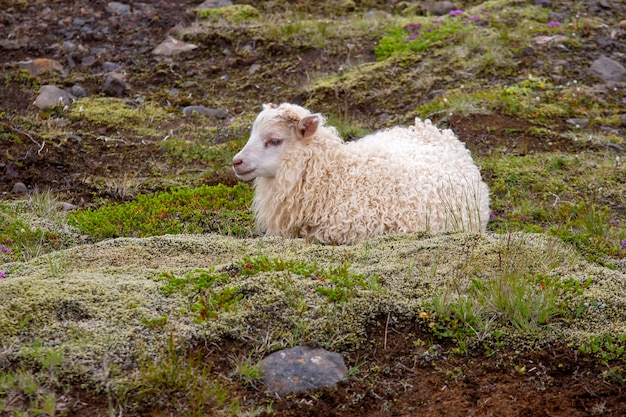 Biała owca siedzi na trawie w islandii