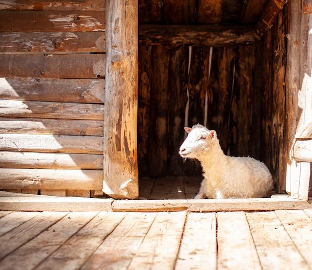 Biała owca z kręconymi włosami po strzyżeniu leży w drewnianym kojcu. hodowla owiec. zarządzanie gospodarstwem domowym.