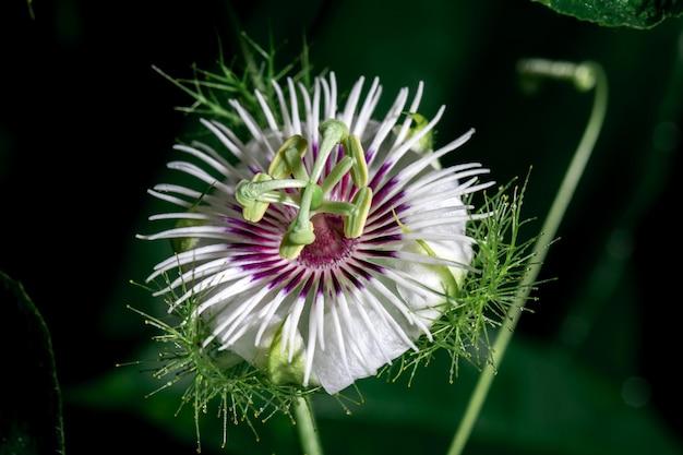 Biała passiflora foetida
