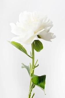 Biała peonia na białym tle