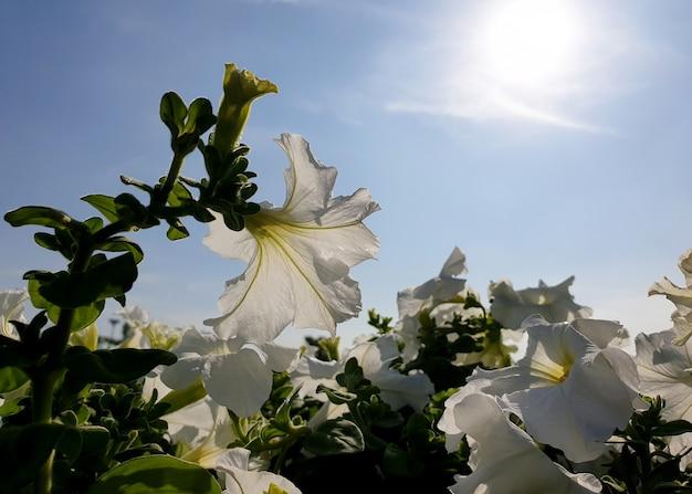 Biała petunia rośliny kwitną na niebie ze słońcem świecącym w tle