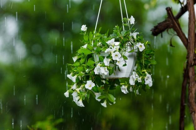 Biała petunia w wiszącej doniczce
