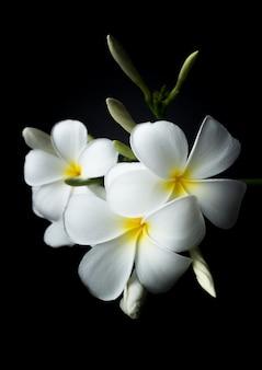 Biała plumeria lub frangipani w kolorze czarnym