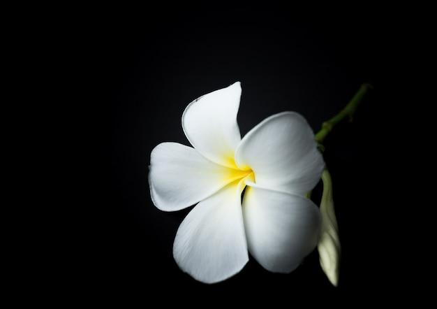 Biała plumeria lub frangipani