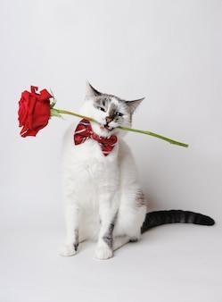 Biała puszysta niebieskooka kotka w stylowej muszce na jasnym tle trzymająca w zębach czerwoną różę