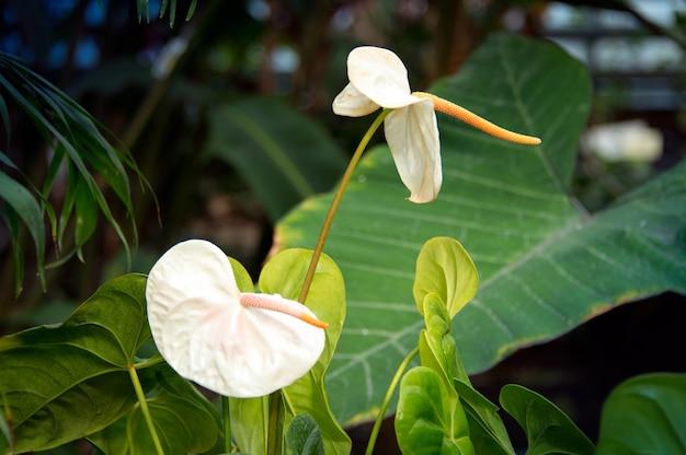 Biała roślina kwitnąca anthurium lub araceae tailflower flamingo i ziele szpiku łonowolistnego