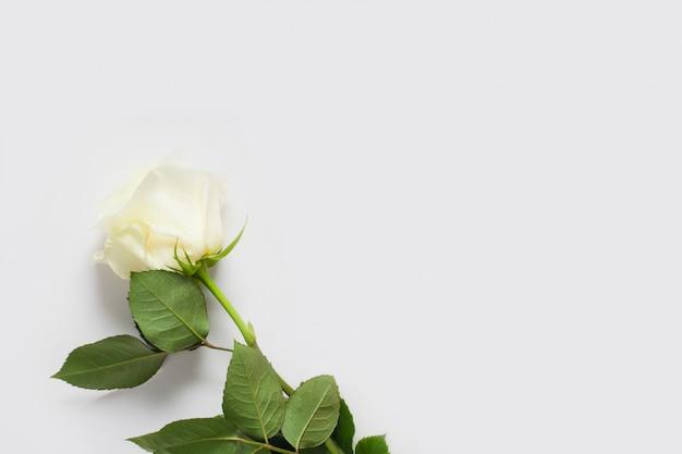 Biała róża na białej ścianie, z miejscem na tekst, z miejsca kopiowania. koncepcja delikatnych ścian z kwiatami, ścian do kwiaciarni, tekstów ślubnych, bielizny i perfum.