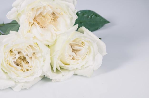 Biała róża na białym tle nad szarym tle