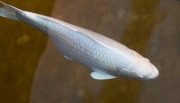Biała ryba w wodzie z bliska