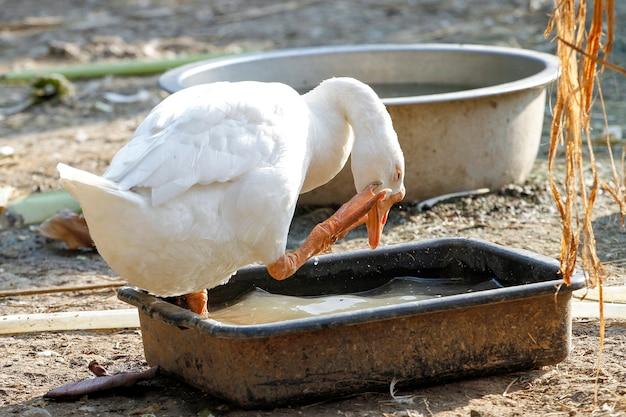 Biała samica gęsi przebywa i odpoczywa w ogrodzie