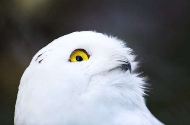 Biała sowa polarna
