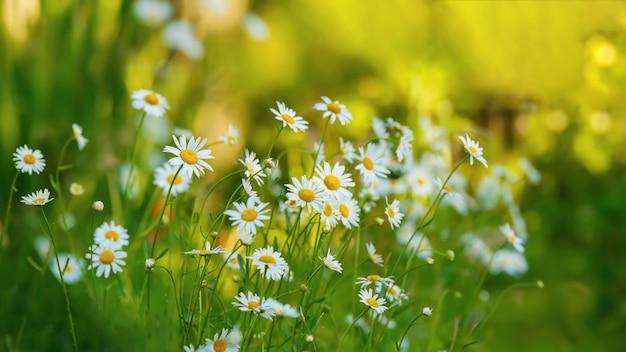 Biała stokrotka kwitnie w ogródzie.