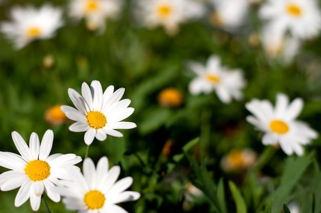 Biała stokrotka w ogrodzie.