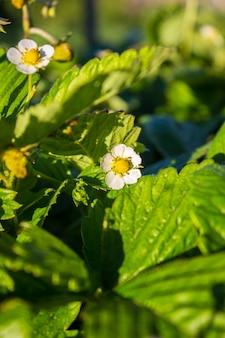 Biała truskawka kwitnąca w ogrodzie wiosną
