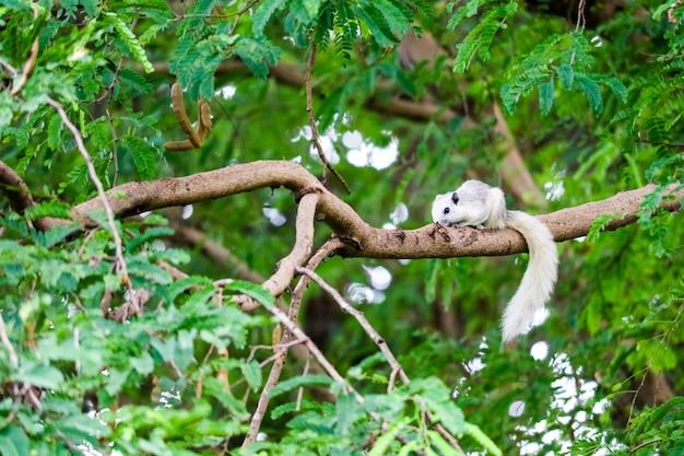 Biała wiewiórka chowa się w cieniu liści na dużym drzewie gałęzi