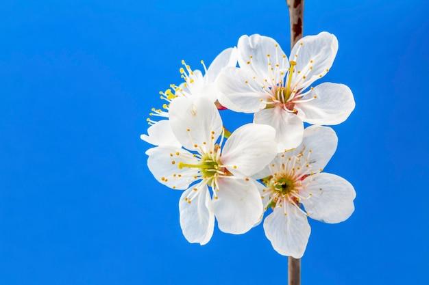 Biała wiśnia kwitnie na błękitnym tle