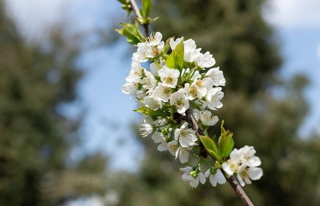 Biała wiśnia kwitnie na gałąź