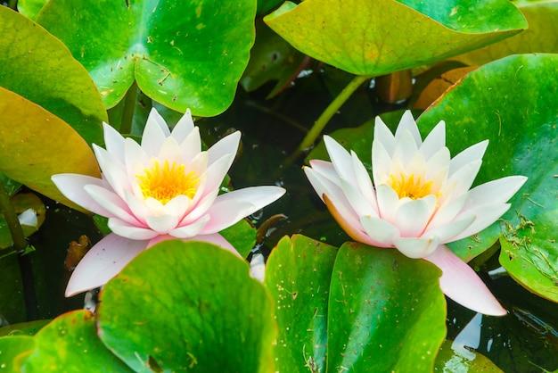 Biała woda lillies z zielonymi liśćmi na stawie