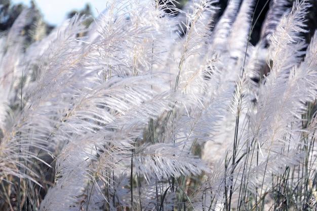Biała wysoka trawa w wietrzny dzień w sezonie zimowym