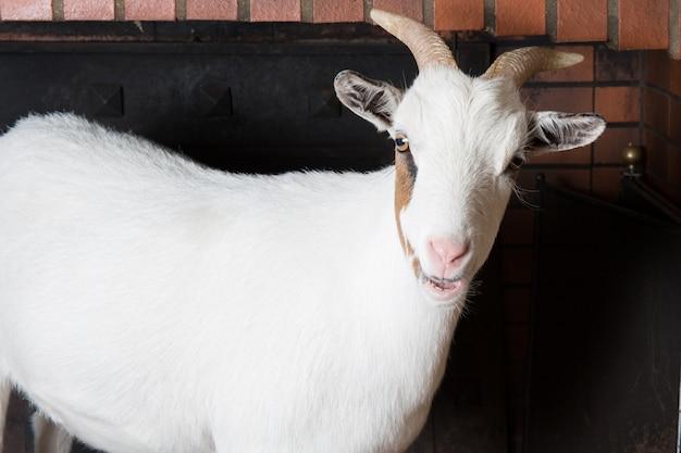 Biała żeńska Koza W Domowym Kominku Premium Zdjęcia