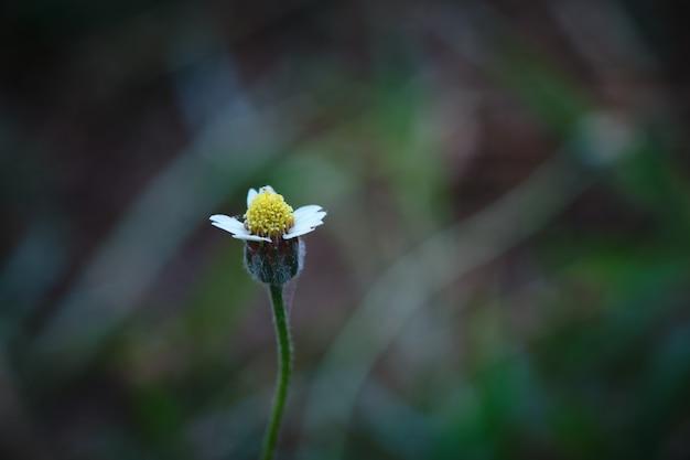 Biała żółta malutka dzika stokrotki trawa kwitnie z plamy tłem.