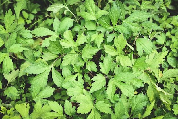 Białe bylicy liście zielone dla ziół roślinnej natury żywności w ogrodzie - artemisia lactiflora