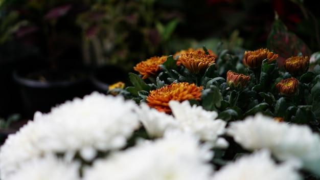 Białe chryzanteum w rozkwicie