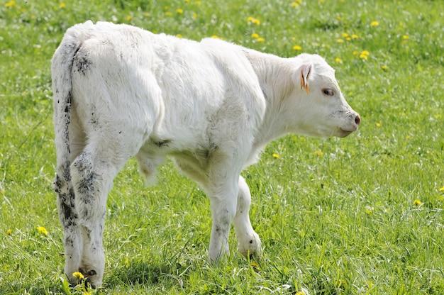 Białe cielę na pastwisku